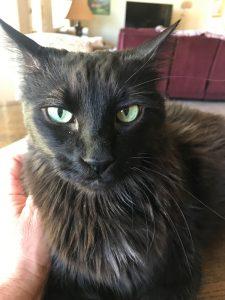 annoyed-cat-black