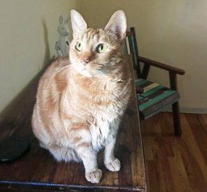 cat-orange-yelloweyed